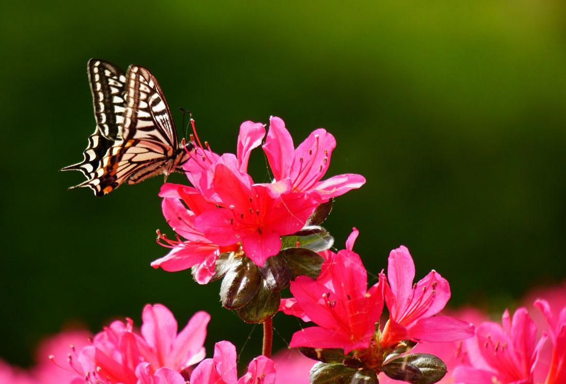 蝶とツツジ